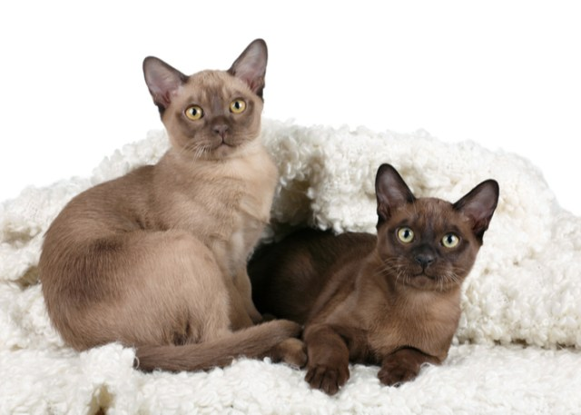 Burmese Kittens and Their Cost