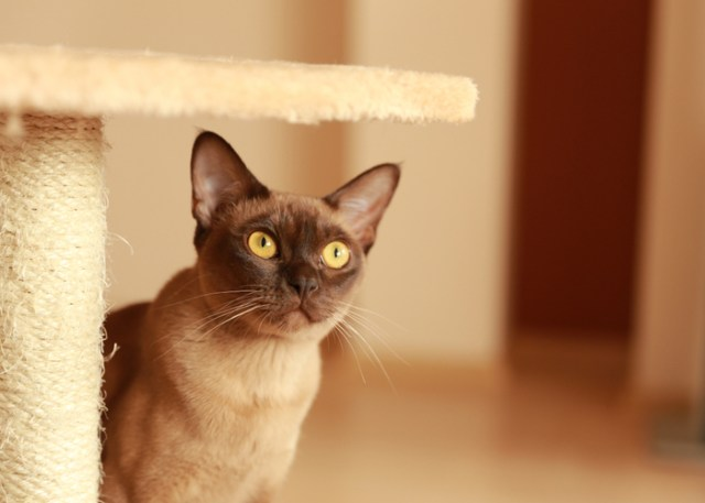 Where to Find Burmese Cat Breed