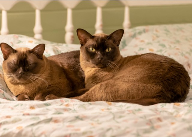 Burmese Cats lying in bed