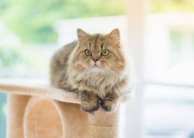 Persian Cat Training