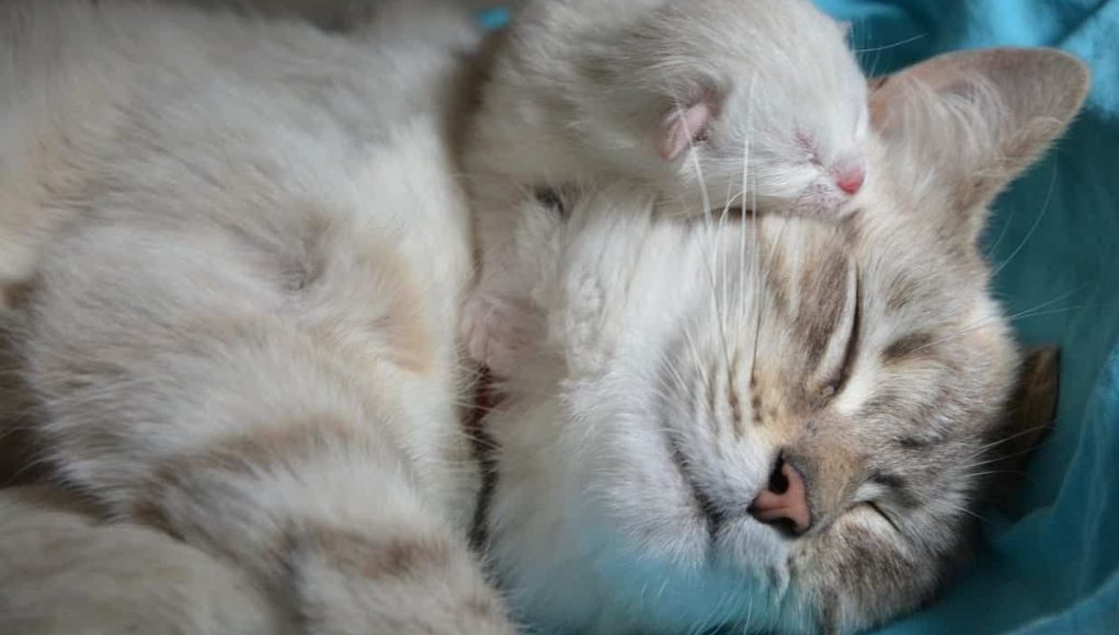 Cat Pregnancy 101: A Comprehensive Guide to Pregnant Cats