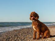 Poodle Doodle Doo! Top 10 Most Popular Poodle Mix