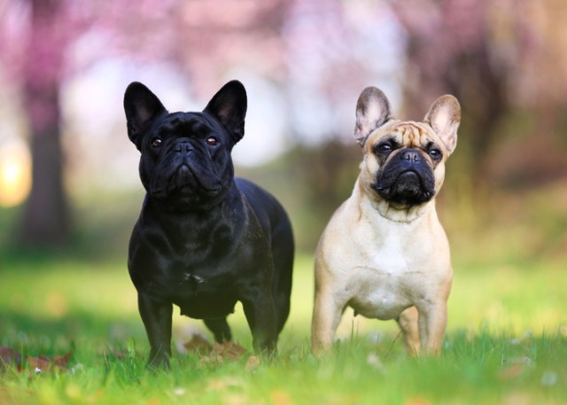 what are flat-faced dog breeds