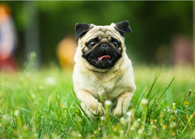 Flat-faced Pug Breed