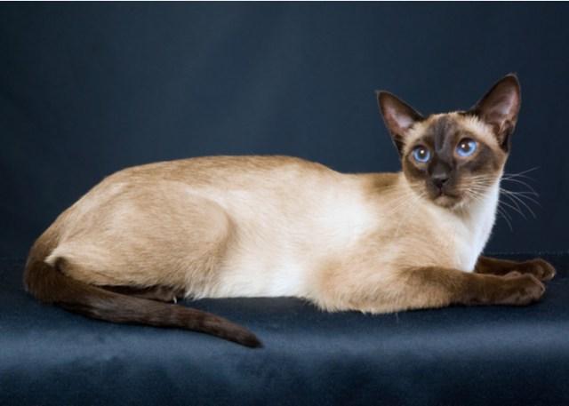 Show Siamese Cat