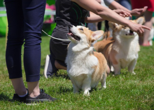 Fidos in dog shows