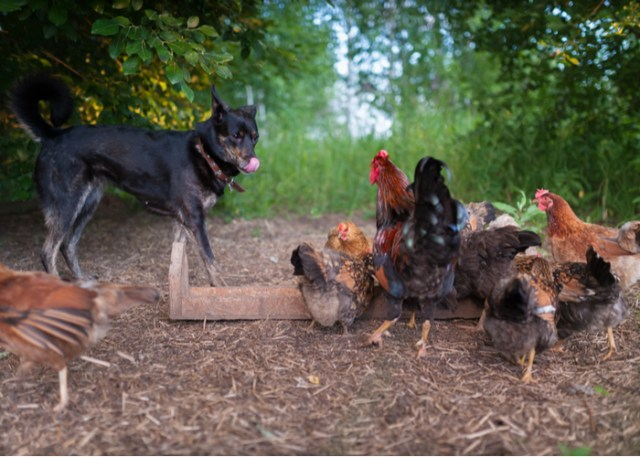 How to introduce dogs to your chickens - Step 5