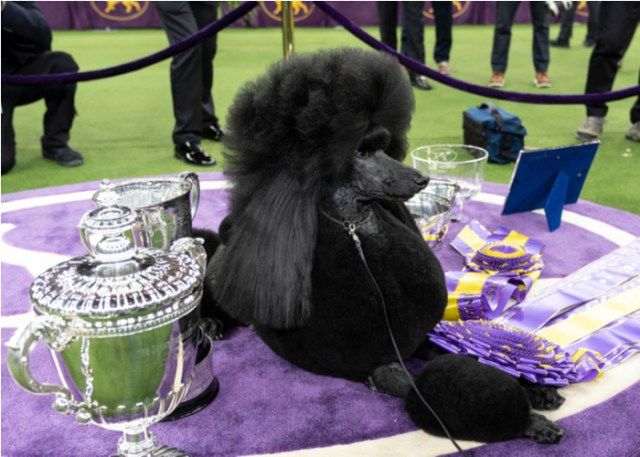Dog with Best in Show award
