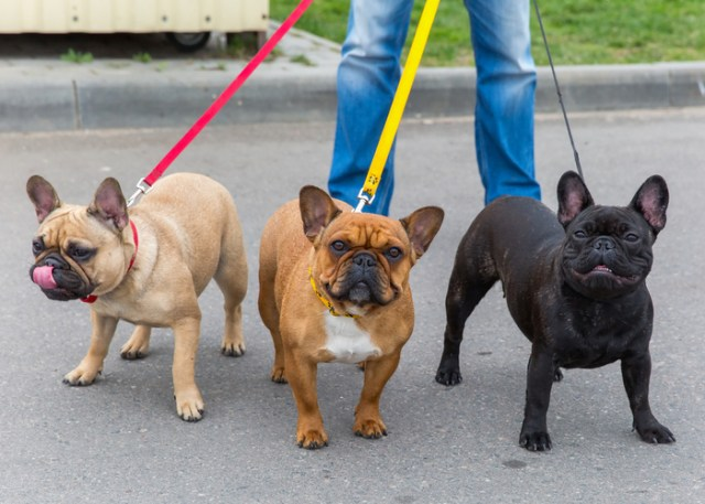 Flat-faced Short-muzzled French Bulldogs