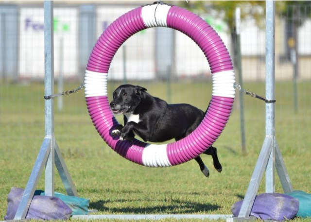 Mixed dog breed in an agility competition