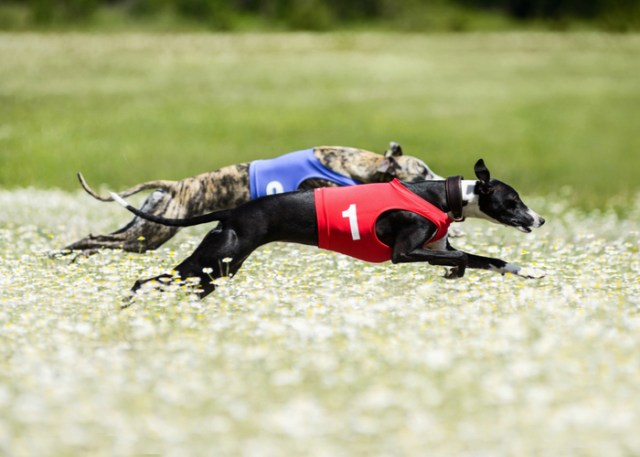 Two Purebred Greyhounds running