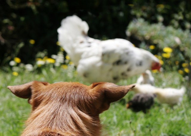 How to introduce dogs to your chickens - Step 2