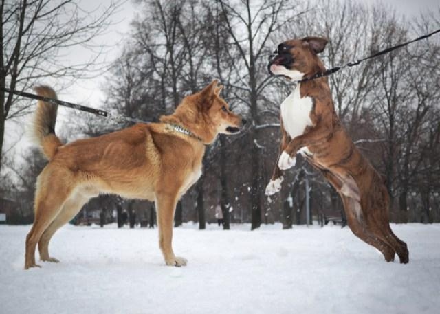 Flat-faced Boxer Dog Jumping