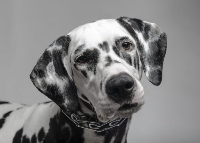 13. The Collars Do Not Affect A Dog's Mental Health