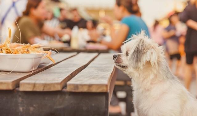 dog staring at food