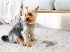 How To Treat Dog UTI At Home