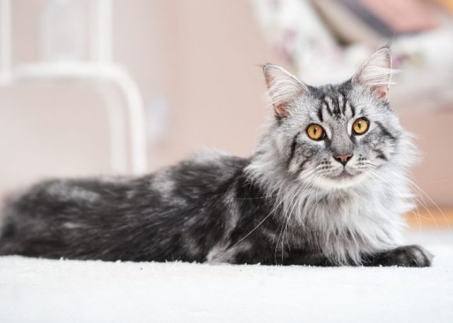 A Maine Coon's Appearance