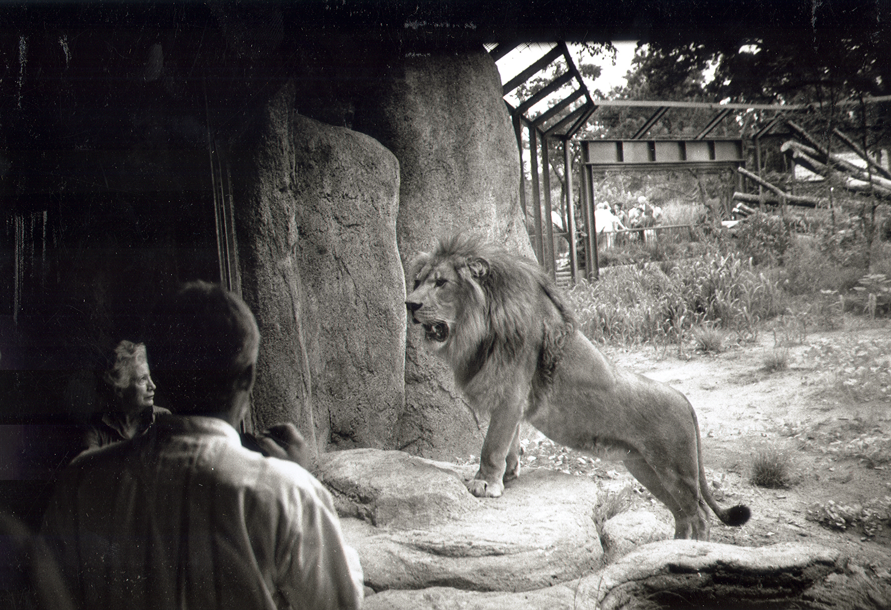 The original pride of lions featured a male, Samburu, and two females, Arusha and Manyara.