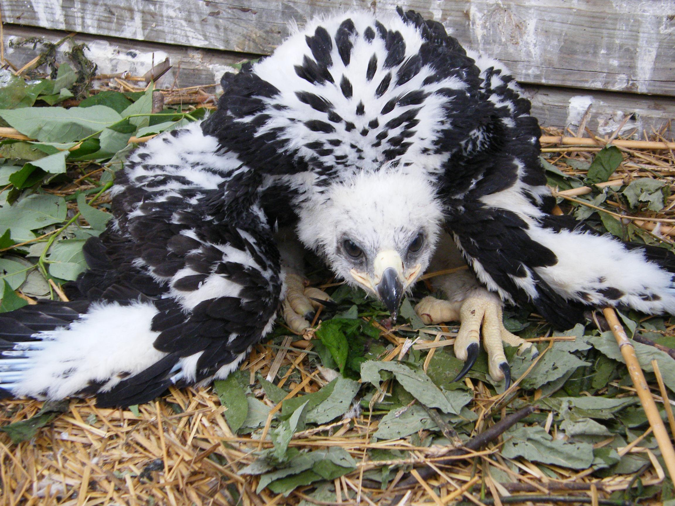 Golden Eagle Fledgling Eaglet