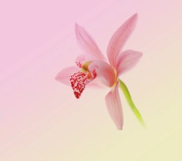 Fondo flor rosa del Huawei Nova 2