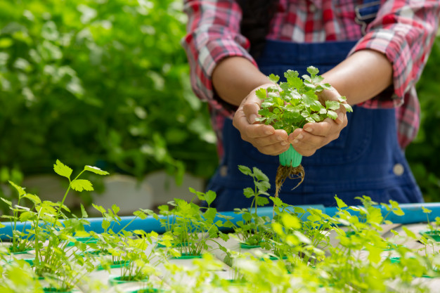 Why Hydroponic Cultivation is Preferred for Growing Cannabis?