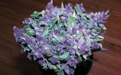 Top 5 Feminized Weed Strains in 2020 for a Stress-free Growing