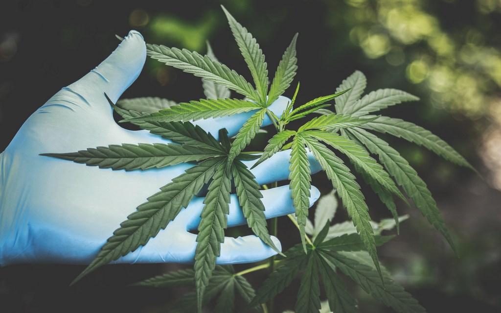 marijuana bonsai plant