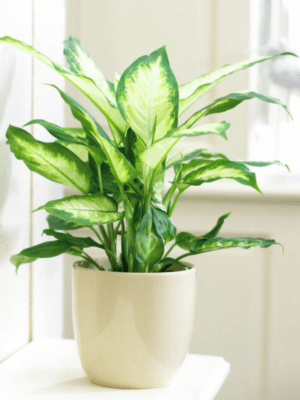 Chinese Evergreen Lifestyle
