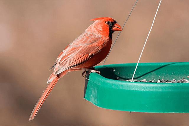 BIRD FEEDER FOR CARDINALS