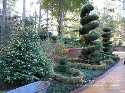 Pines, Picea, Cedars and Boxwoods create a majestic bed