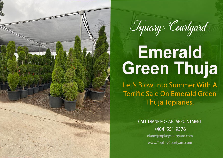 Emerald Green Thuja evergreen trees & more available!