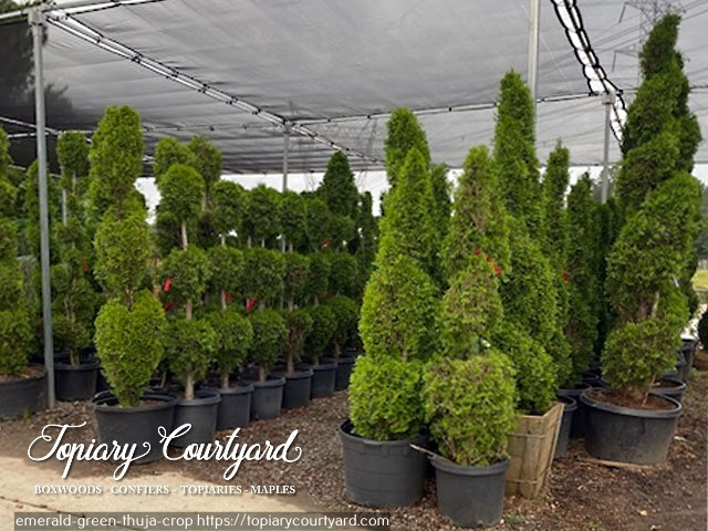 Emerald Green Thuja