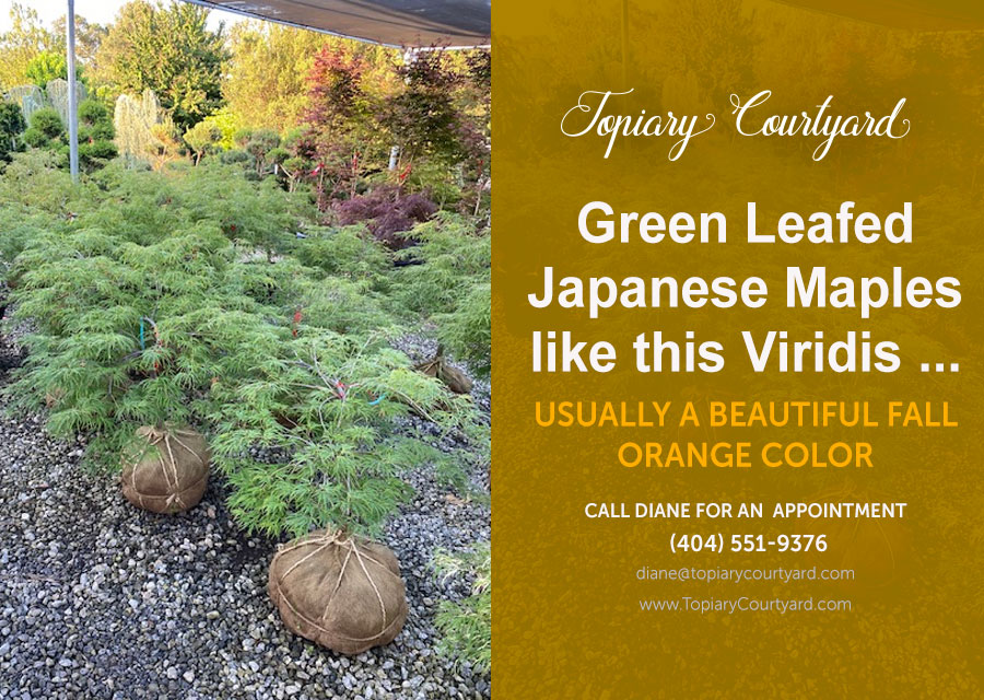 Going Green With Some Beautiful Green Leafed Japanese Maples