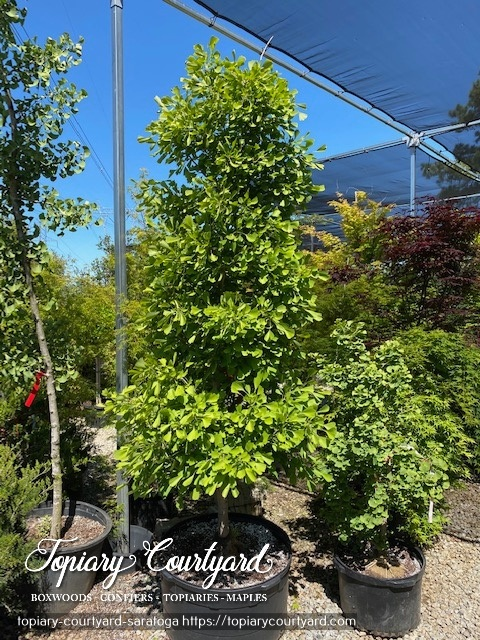 Summer Fun with a terrific tree like this 6-7 ft Ginkgo Saratoga
