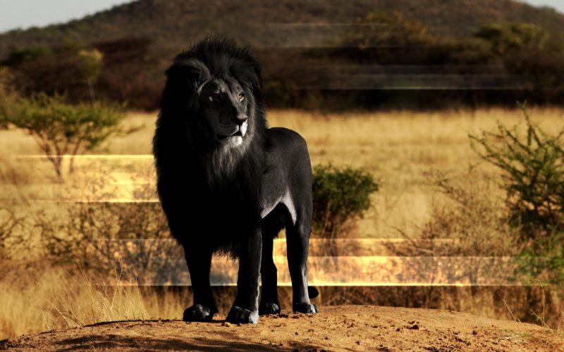 черный лев фейк