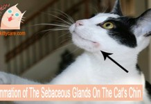 Inflammation of The Sebaceous Glands On The Cat's Chin