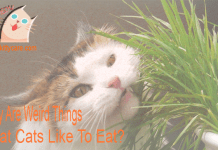 Why Are Weird Things That Cats Like To Eat?