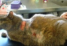 SKIN INFECTIONS IN CATS