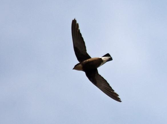 иглохвостый (колючехвостый) стриж самая быстрая птица в мире. фото