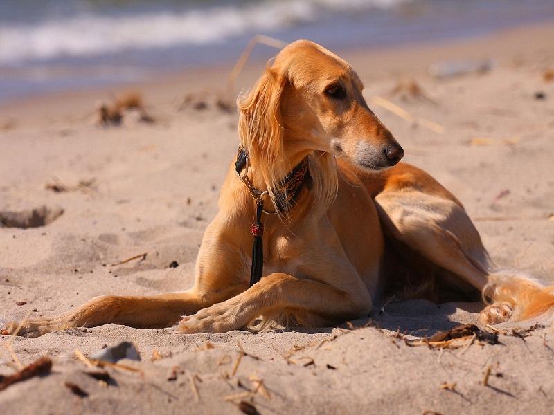 собака породы Салюки (персидская борзая) фото