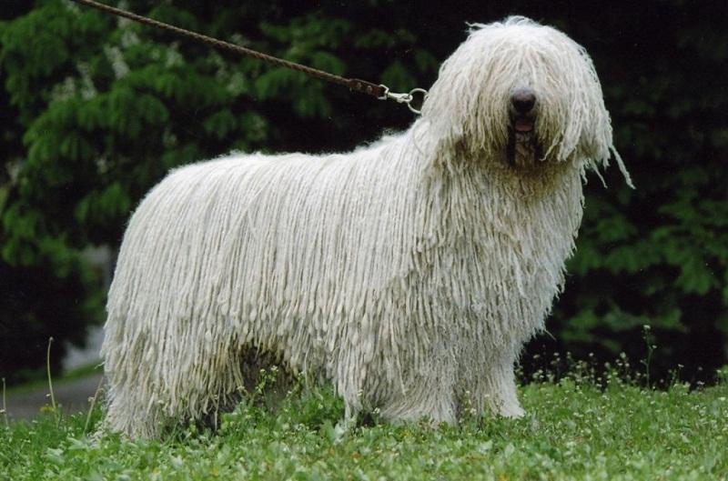 Breed of Dogs Sangat Besar: Foto Comandor (Hungary Shepherd)