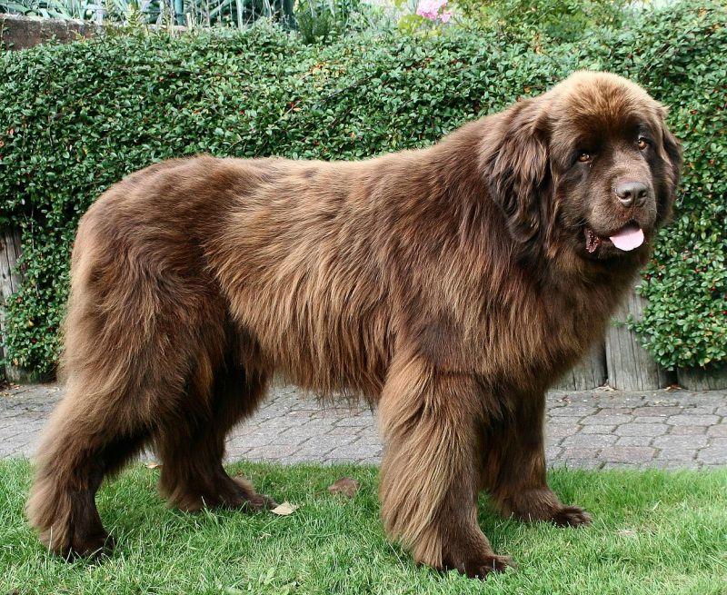 Anjing terbesar di dunia: membiak Newfoundland. Foto
