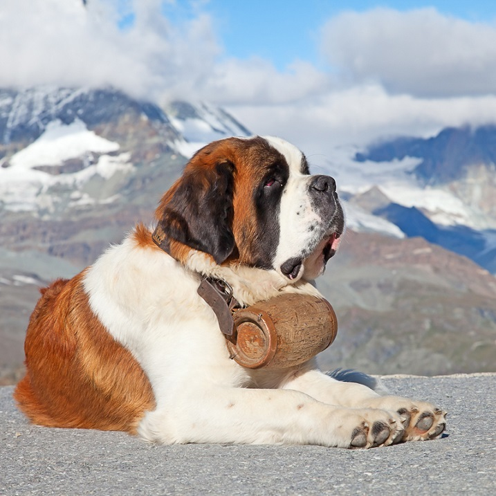 Razas gigantes de perros: Senbernar. Foto