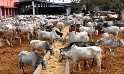 Plateau government commence plans to implement cattle ranch policy