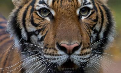 Tiger tests positive for Coronavirus in New York