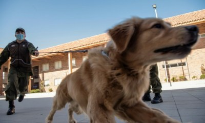 Chilean Police train dogs to detect people infected with Coronavirus