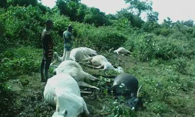 Thunderstorm strikes seven cows dead in Osun