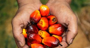 Is palm oil bad for you? Here's the full story on this controversial ingredient