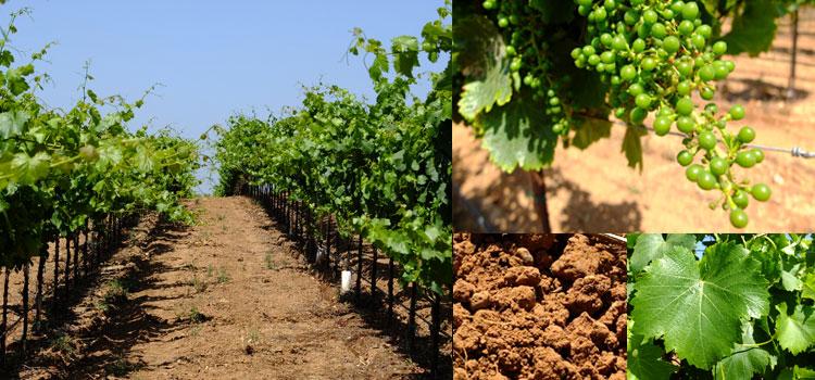 Great Wines of Lodi, Part III: Bokisch Vineyards