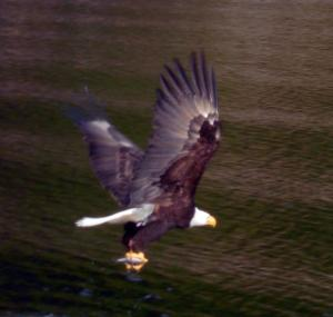 An American Bald Eagle
